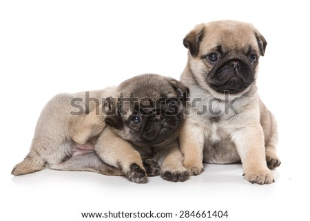 Two pug puppy looking at the camera (isolated on white) - stock photo