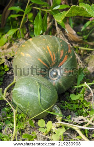 Two pumpkins growing in an organic vegetable garden. - stock photo