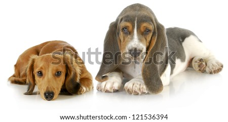 two puppies - basset hound and miniature dachshund puppy laying down looking at viewer on white background - stock photo