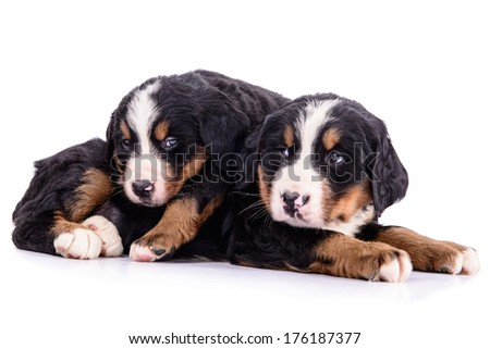 two puppies Bernese Mountain Dog newborn. animal isolated on white background