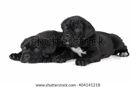 two puppies cane Corso on a white background in the Studio - stock photo