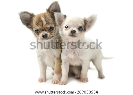 two puppies Chihuahua who stand - stock photo