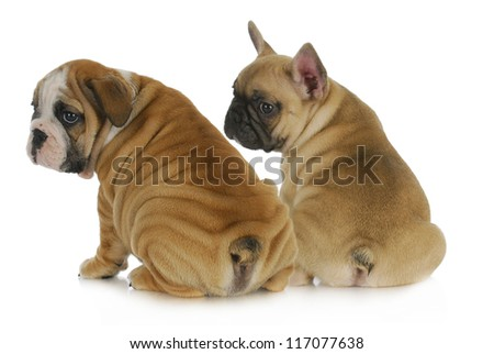 two puppies - english and french bulldog puppies looking over shoulders isolated on white background 8 weeks old - stock photo