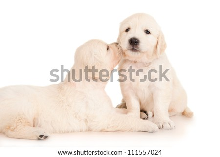 Two puppies golden retriever - stock photo