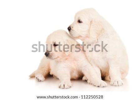 Two puppies golden retriever - stock photo