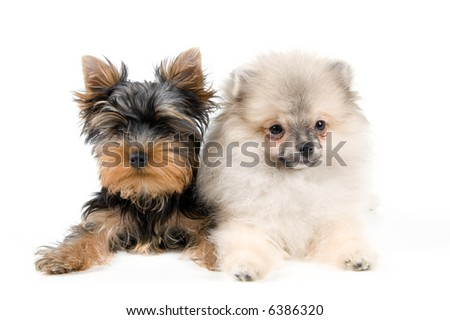 Two puppies  in studio on a neutral background