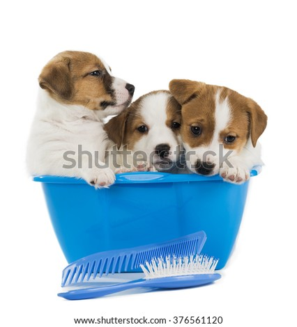 two puppies Jack Russell Terrier bathe in a basin isolated on white background
