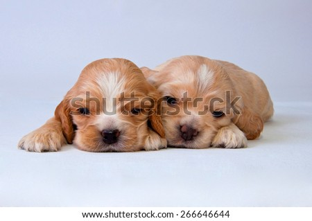 Two puppies of American cocker spaniel on a white background. Two weeks old.  - stock photo