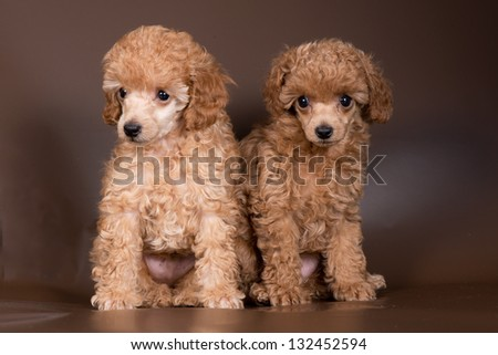 Two puppies of apricot poodle