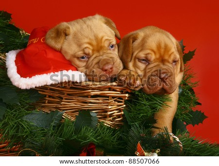 Two puppies of breed a mastiff from Bordeaux in Christmas sledge on a red background. - stock photo