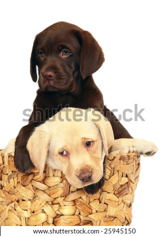 Two puppies of breed Labrador a retriever in a basket.