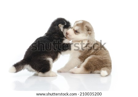Two Puppies of siberian husky playing - stock photo