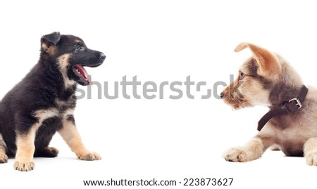 two puppies on a white background isolated