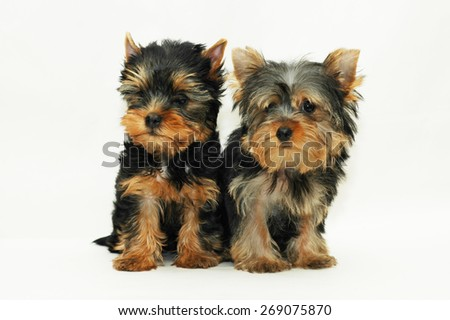 two puppies Yorkshire terrier - stock photo