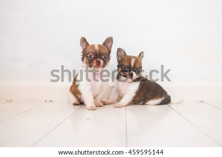 two puppy chihuahua