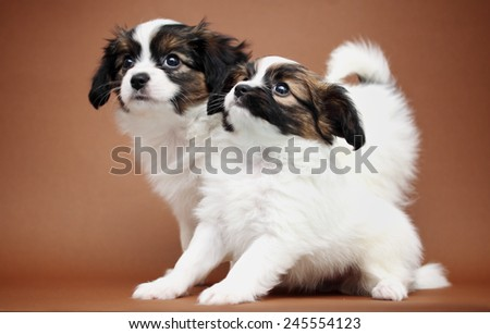 two Puppy Papillon on a brown background