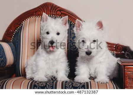 Two puppy West Highland White Terrier sitting together