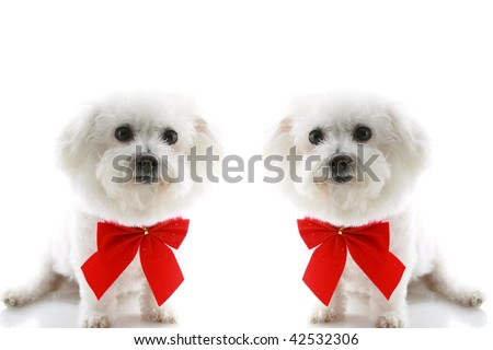 two  Pure breed Bichon Frises wear red bows with room for your text isolated on white , text is easily replaced with your text - stock photo