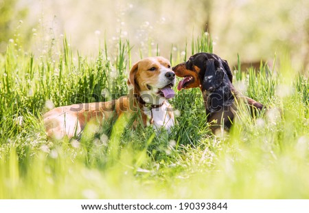 Two purebred dogs lying together on green lawn - stock photo