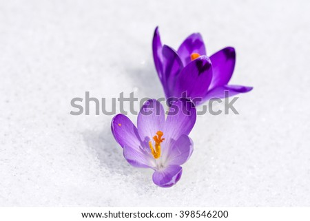 Two Purple Crocus growing in the snow - stock photo