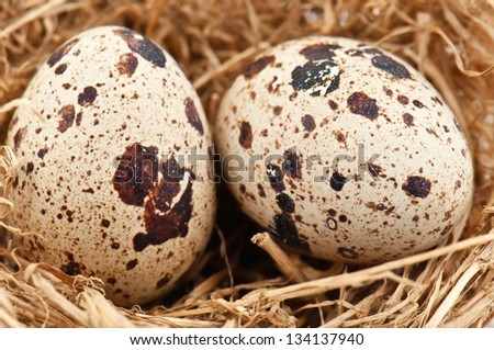 two quail eggs in nest