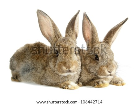Two rabbits bunnies isolated on white - stock photo