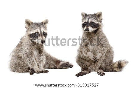 Two raccoon sitting together isolated on white background