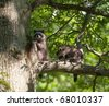 Two raccoons sit on a branch of a tree in summer - stock photo