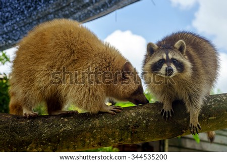 Two raccoons walking on tree branch during a fine sunny day - stock photo