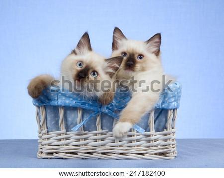 Two Ragdoll kittens sitting inside white basket on blue background  - stock photo
