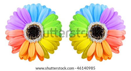 Two rainbow gerbera flowers isolated on white