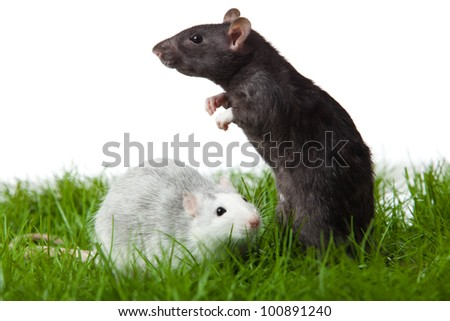 two rats on the grass  isolated in white. rat in green grass close up - stock photo