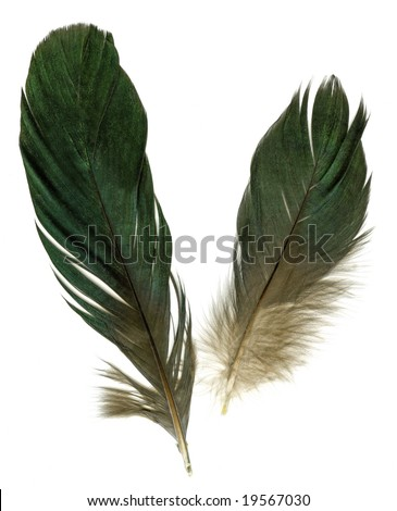 Two raven feathers on white background - stock photo