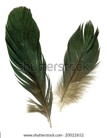 Two raven feathers on white background
