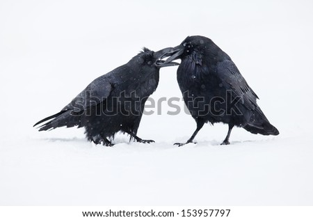 Two ravens in winter during a snowfall