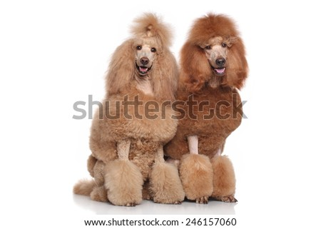 Two red and apricot Standard Poodles on white background - stock photo