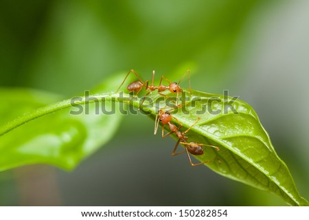 Two red ants walking on a green leaf - stock photo
