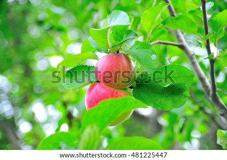 Two red apples hang on a tree hidden behind the leaves