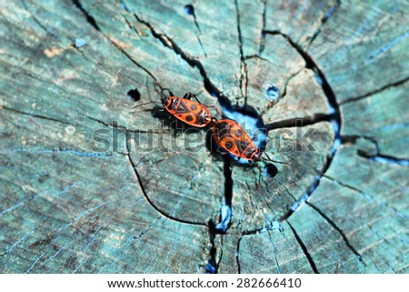 Two red beetle on a wooden stump photographed close up - stock photo