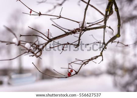 two red berries on a branch in winter