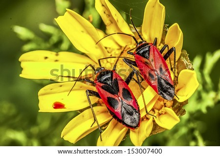 two red bugs sits on yellow flower - stock photo