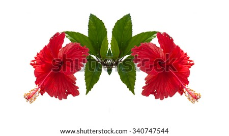 Two Red Chinese rose Isolated mirror reflection / Hibiscus syriacus  - stock photo