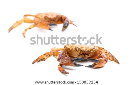 Two red crabs close up. Isolated on a white background - stock photo