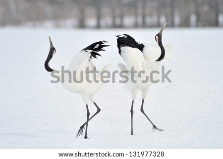 Two Red-crowned Cranes in courtship. - stock photo