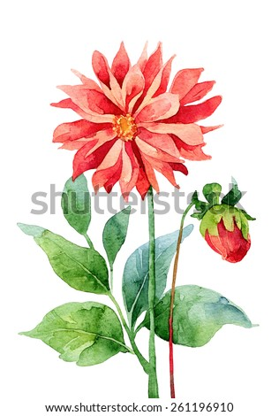 Two red dahlia isolated on white background. Watercolor illustration - stock photo