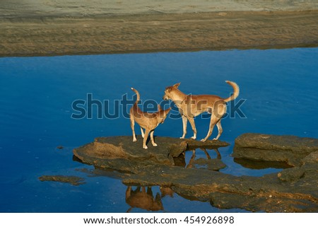 two red dogs run and play on the sandy beach near the blue water in the light of the morning sun - stock photo