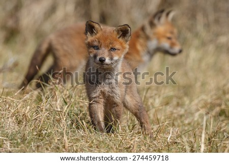 Two red fox cubs  - stock photo