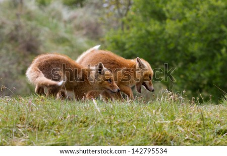 Two red fox cubs playing