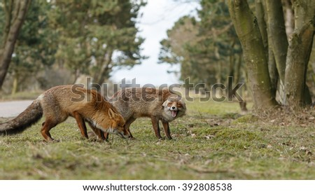 Two red foxes in a confrontation