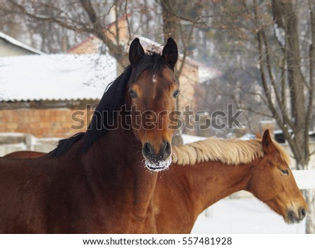 two red horses standing together near a white fence in the paddock in winter